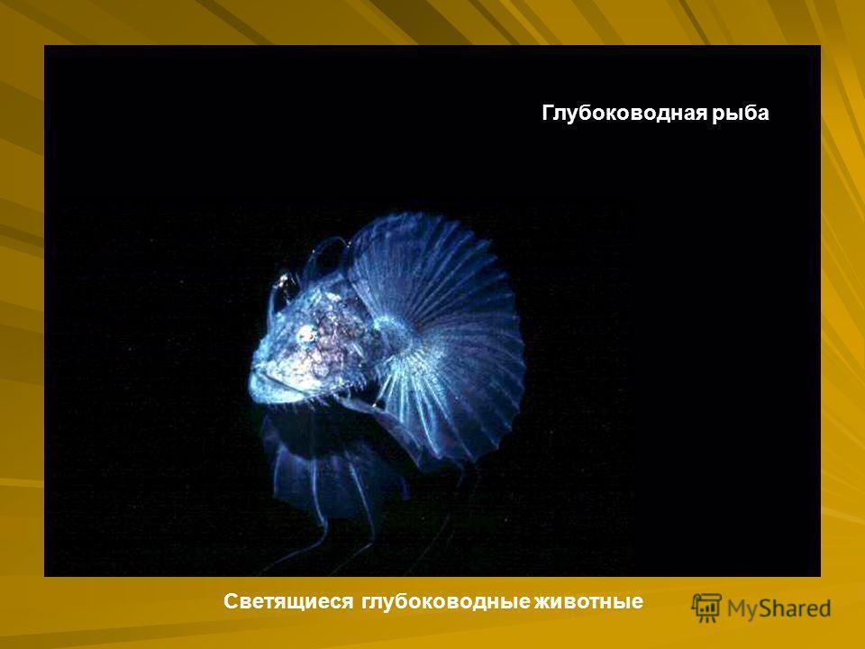 Глубоководная рыба Светящиеся глубоководные животные