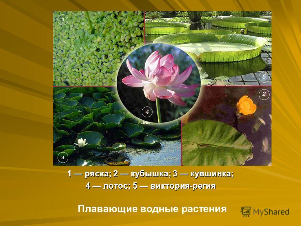 1 ряска; 2 кубышка; 3 кувшинка; 4 лотос; 5 виктория-регия Плавающие водные растения