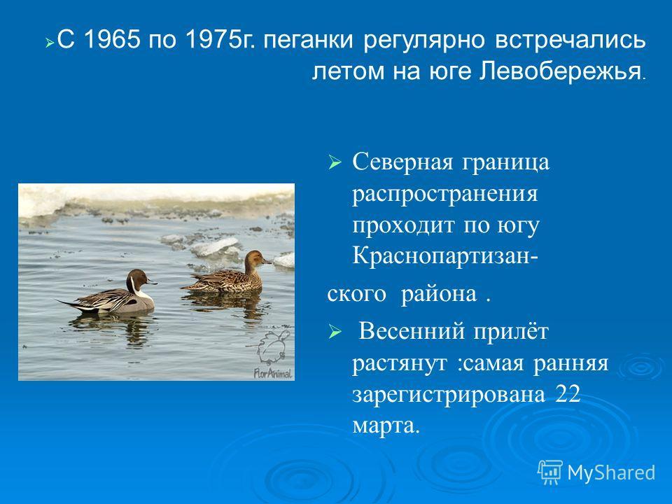 Северная граница распространения проходит по югу Краснопартизан- ского района. Весенний прилёт растянут :самая ранняя зарегистрирована 22 марта. С 1965 по 1975г. пеганки регулярно встречались летом на юге Левобережья.