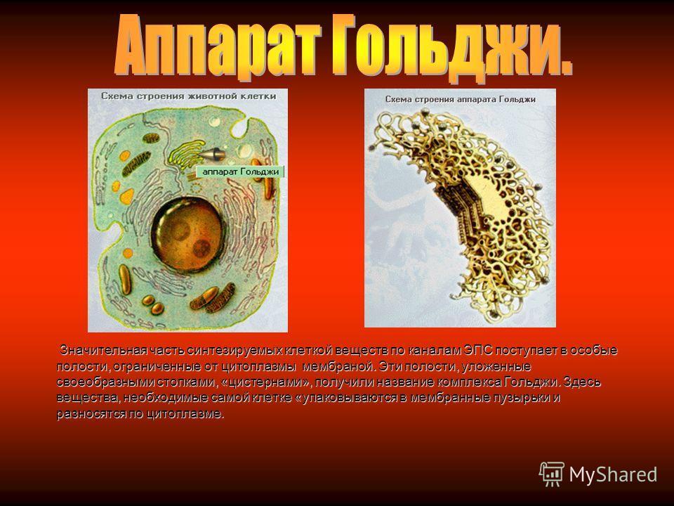 ЭПС – одномембранная система канальцев, трубочек, цистерн, которая пронизывает всю цитоплазму. Она участвует в обмене веществ: синтезирует липиды для наружной мембраны клетки и для собственной мембраны, обеспечивает транспорт веществ между органоидам