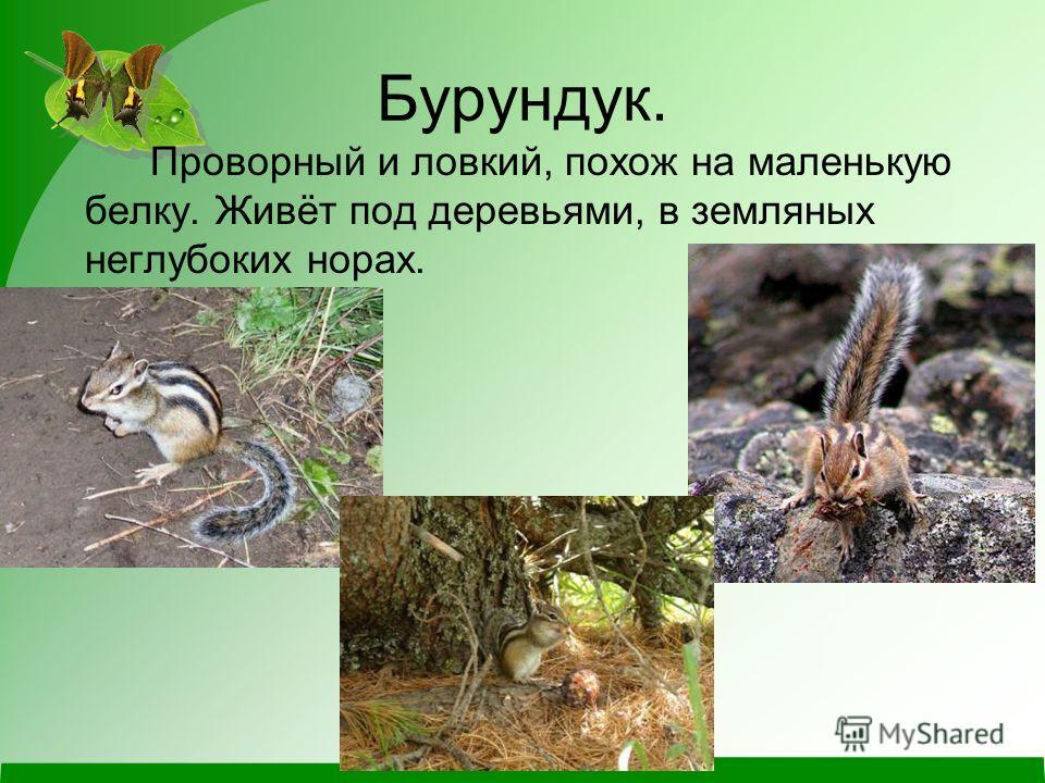 Бурундук. Проворный и ловкий, похож на маленькую белку. Живёт под деревьями, в земляных неглубоких норах.