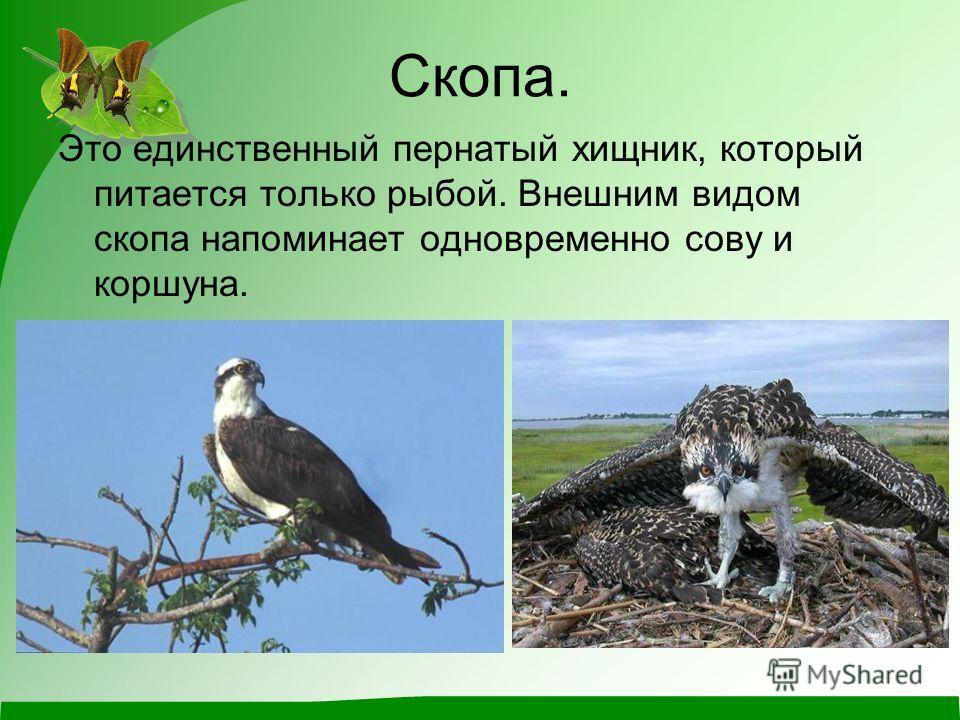 Скопа. Это единственный пернатый хищник, который питается только рыбой. Внешним видом скопа напоминает одновременно сову и коршуна.
