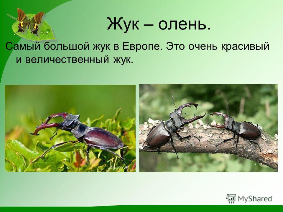 Жук – олень. Самый большой жук в Европе. Это очень красивый и величественный жук.