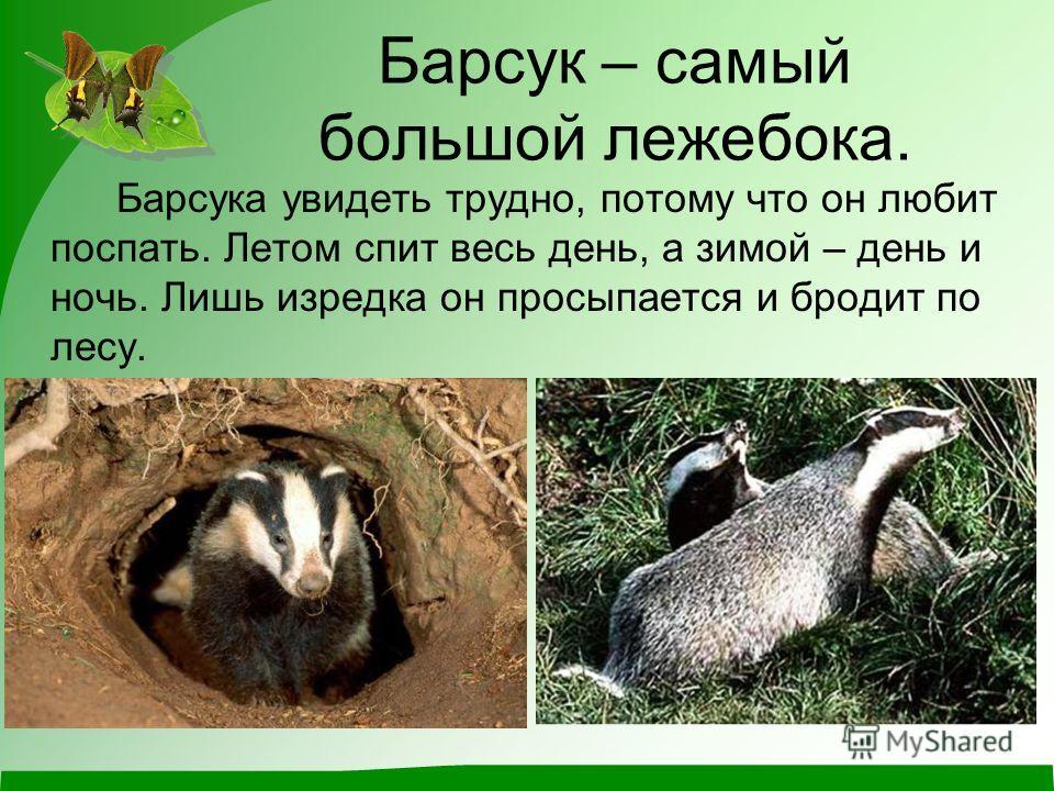 Барсук – самый большой лежебока. Барсука увидеть трудно, потому что он любит поспать. Летом спит весь день, а зимой – день и ночь. Лишь изредка он просыпается и бродит по лесу.