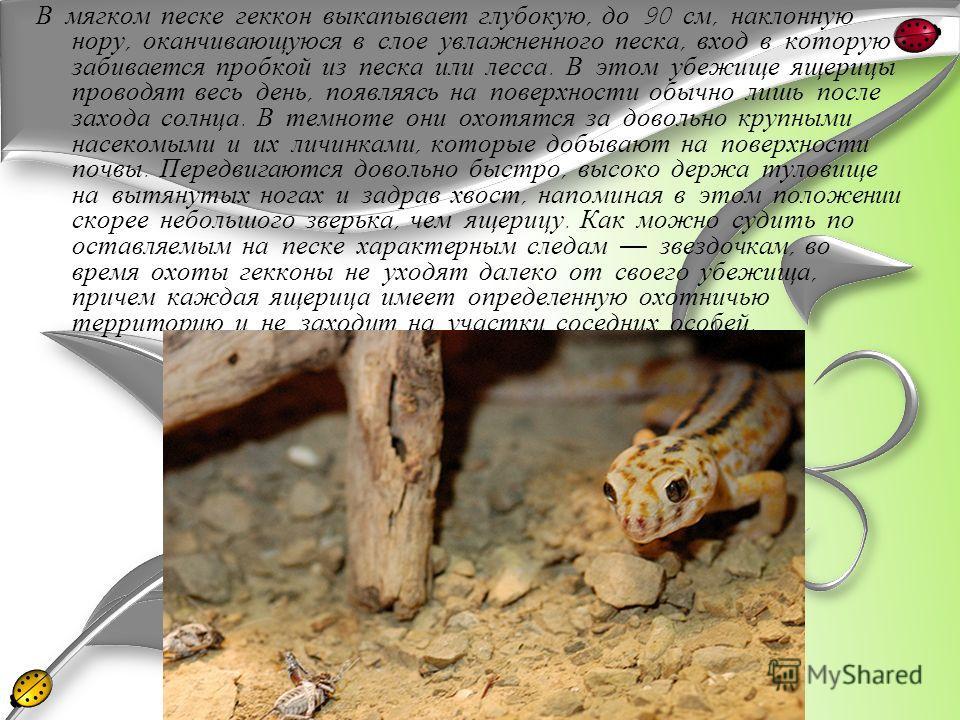 В мягком песке геккон выкапывает глубокую, до 90 см, наклонную нору, оканчивающуюся в слое увлажненного песка, вход в которую забивается пробкой из песка или лесса. В этом убежище ящерицы проводят весь день, появляясь на поверхности обычно лишь после