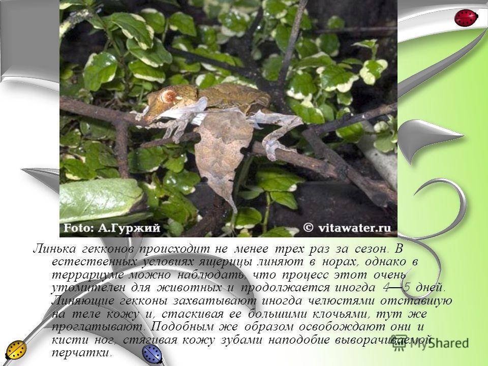 Линька гекконов происходит не менее трех раз за сезон. В естественных условиях ящерицы линяют в норах, однако в террариуме можно наблюдать, что процесс этот очень утомителен для животных и продолжается иногда 4 5 дней. Линяющие гекконы захватывают ин