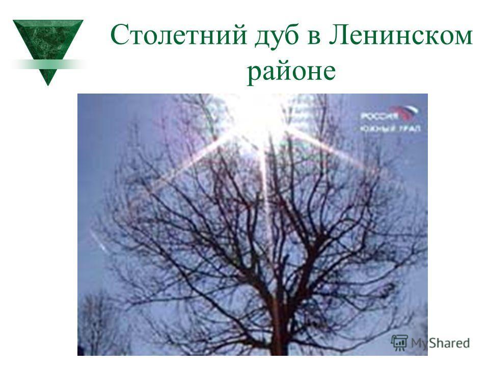 Столетний дуб в Ленинском районе