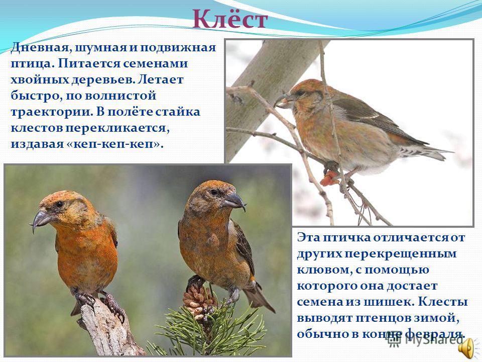 Поползень Эта птица величиной с воробья. Умеет передвигаться по стволу вниз головой. Питается насекомыми, семенами сосны, ели, желудями. Иногда подражает дятлу – долбит кору и извлекает из-под нее личинок. Поползень на зиму запасает корм. И желуди, и