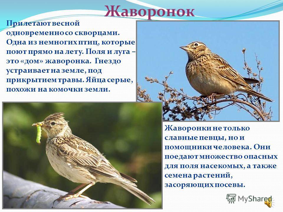 Скворец О скворцах говорят: на крыльях весну принесли. Прилетают они вслед за грачами. Самцы находят подходящее место для гнезда и начинают петь. Скворцы – певцы-пародисты. Они умеют точно копировать голоса многих птиц. Из этих голосов и слагается пе