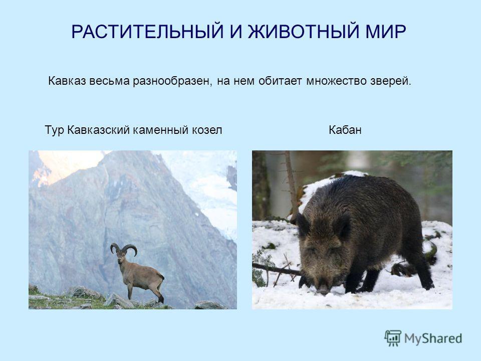 РАСТИТЕЛЬНЫЙ И ЖИВОТНЫЙ МИР Кавказ весьма разнообразен, на нем обитает множество зверей. Тур Кавказский каменный козелКабан