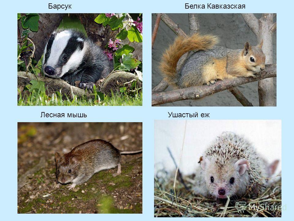 БарсукБелка Кавказская Лесная мышьУшастый еж
