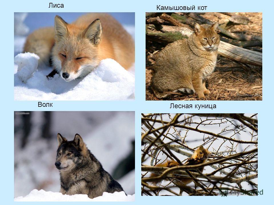 Лиса Камышовый кот Волк Лесная куница