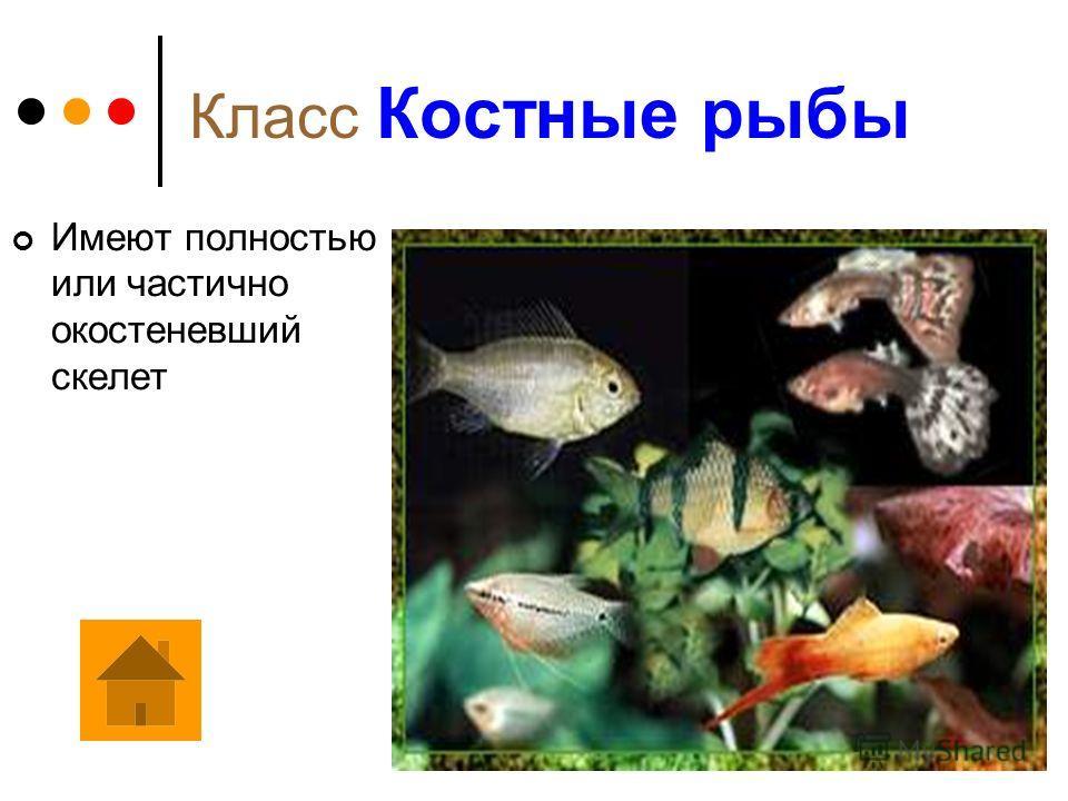 Подкласс Цельноголовые Отряд Химеры Небольшую, своеобразную группу хрящевых рыб образуют химеры. Их вальковатое, слегка сжатое с боков тело, длиной от 60 см до 2 м, постепенно утончается к хвосту, который заканчивается длинной нитью. Перед первым спи