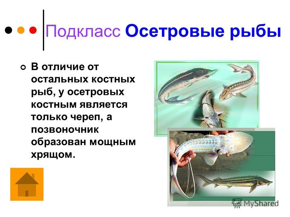 Класс Костные рыбы Имеют полностью или частично окостеневший скелет