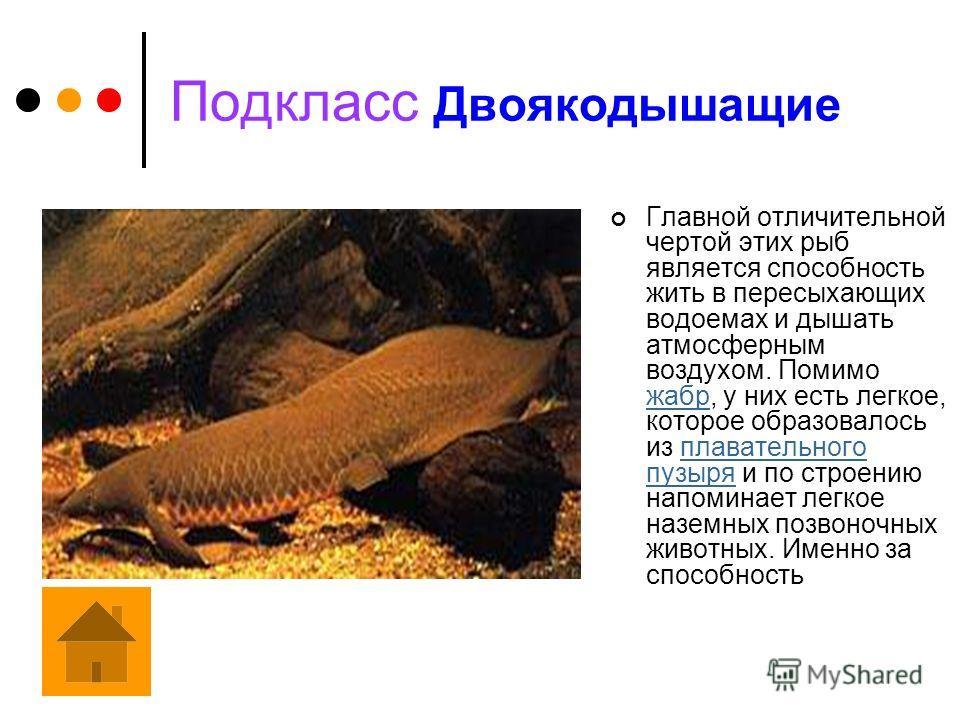 Подкласс Лучеперые Лучеперые рыбы составляют свыше 95% ныне живущих рыбообразных и рыб. Опору осевого скелета у них образует, как правило, костный позвоночник, только у немногих сохраняется хорда или ее остатки. Основания парных плавников не носят ха