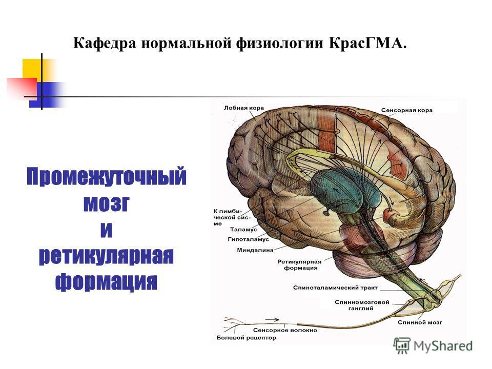 Промежуточный мозг и ретикулярная формация Кафедра нормальной физиологии КрасГМА.