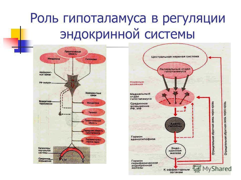 Роль гипоталамуса в регуляции эндокринной системы