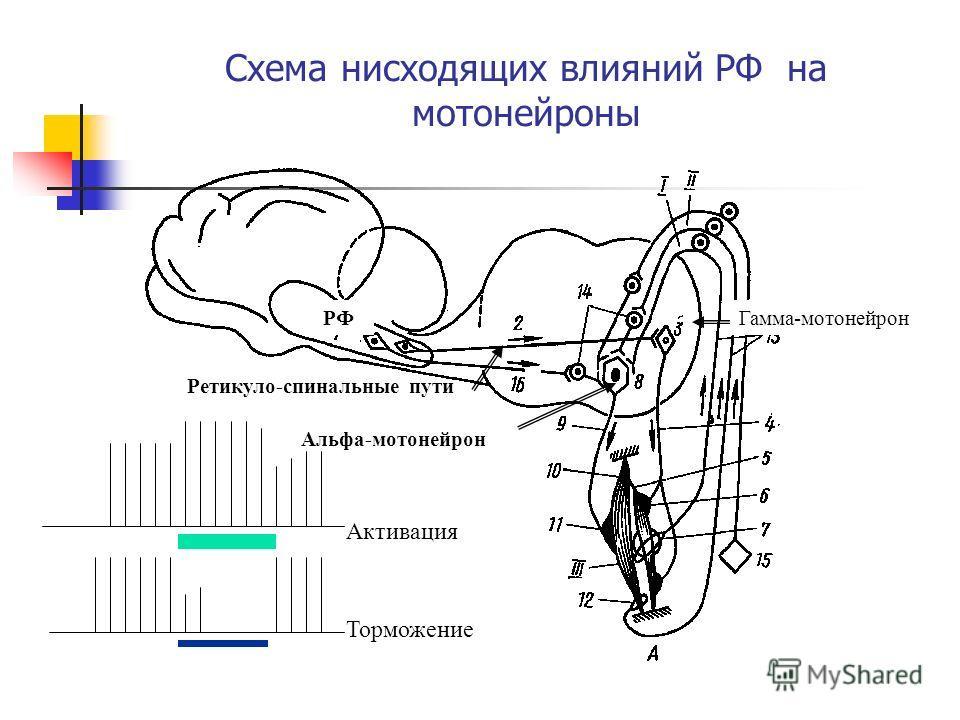 Схема нисходящих влияний РФ на мотонейроны РФ Ретикуло-спинальные пути Альфа-мотонейрон Гамма-мотонейрон Активация Торможение