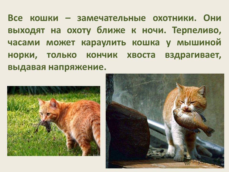 Все кошки – замечательные охотники. Они выходят на охоту ближе к ночи. Терпеливо, часами может караулить кошка у мышиной норки, только кончик хвоста вздрагивает, выдавая напряжение.