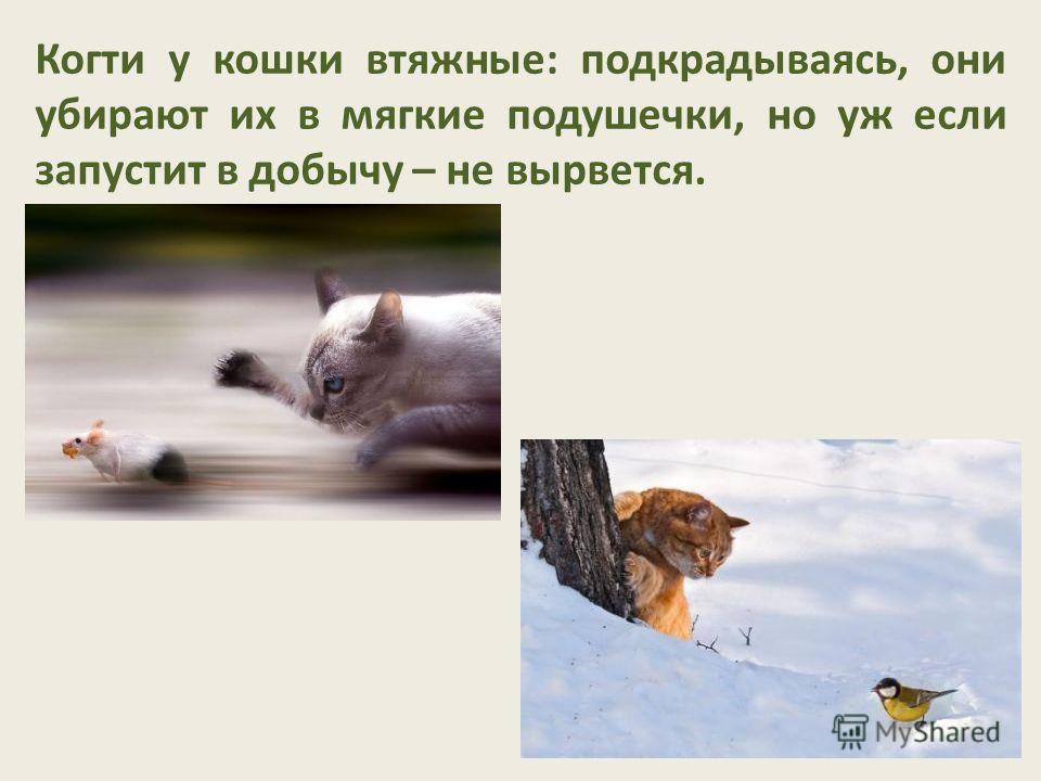 Когти у кошки втяжные: подкрадываясь, они убирают их в мягкие подушечки, но уж если запустит в добычу – не вырвется.