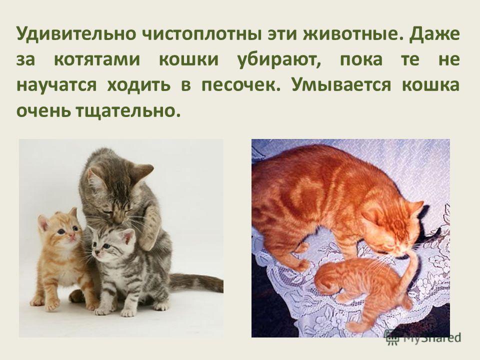 Удивительно чистоплотны эти животные. Даже за котятами кошки убирают, пока те не научатся ходить в песочек. Умывается кошка очень тщательно.
