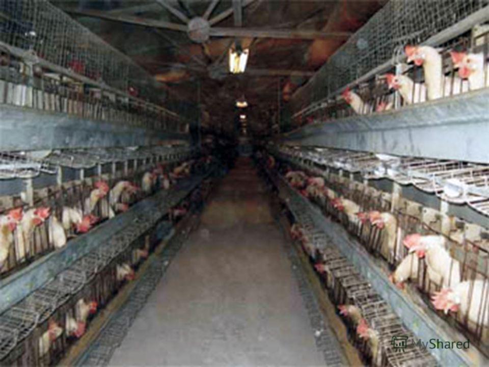 Их разводят на птицефабриках. Для получения яицДля получения мяса Куры- несушкиБройлеры
