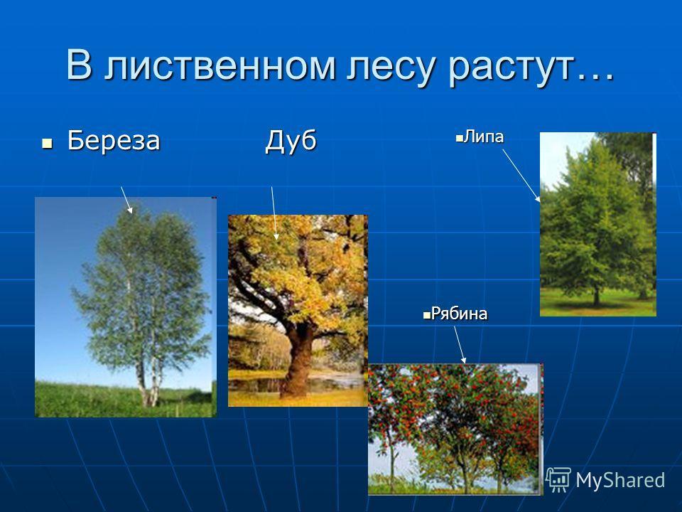 В лиственном лесу растут… Береза Дуб Береза Дуб Рябина Рябина Липа Липа