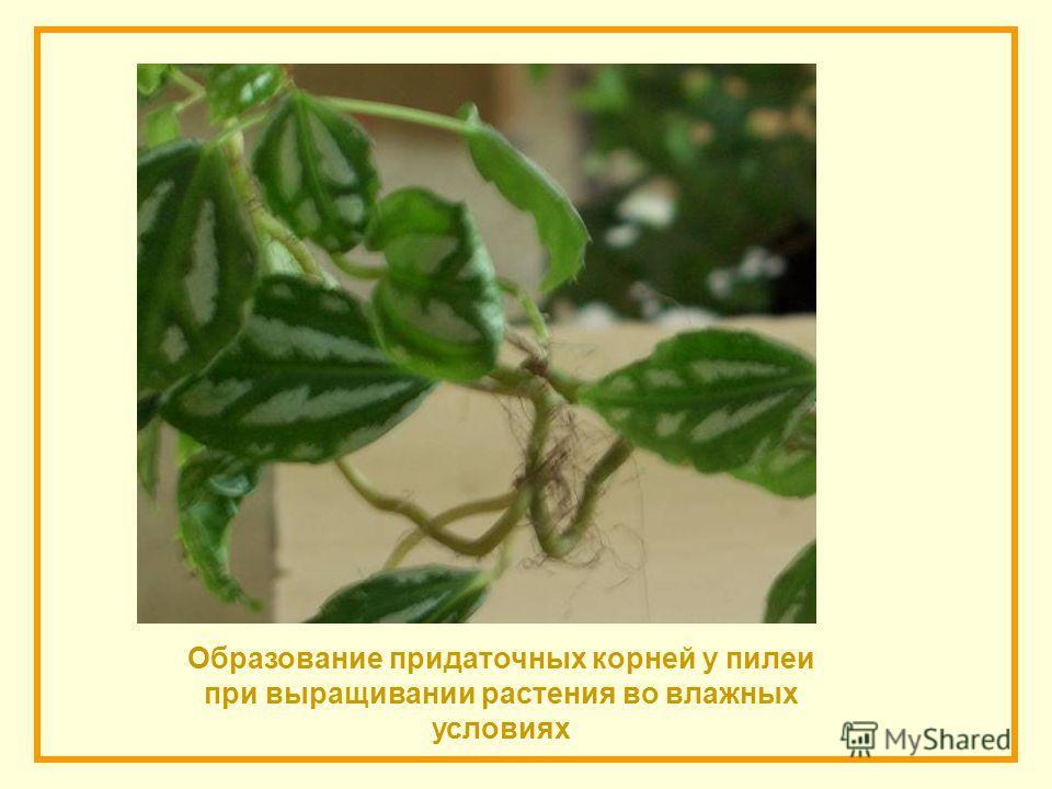 Образование придаточных корней у пилеи при выращивании растения во влажных условиях