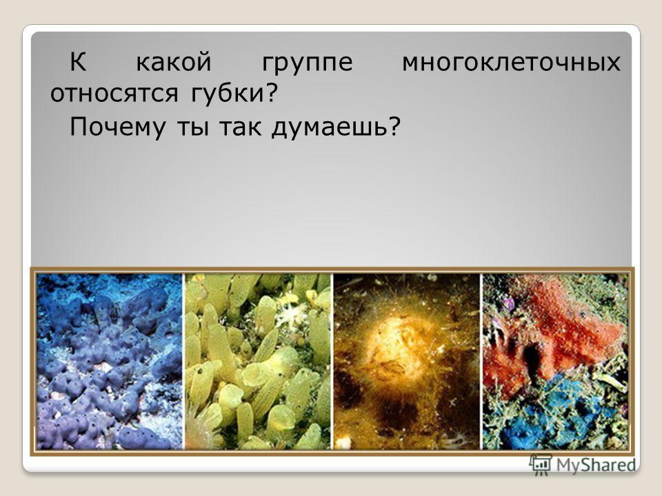 К какой группе многоклеточных относятся губки? Почему ты так думаешь?