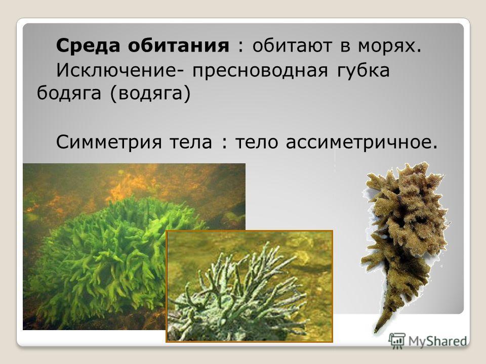 Среда обитания : обитают в морях. Исключение- пресноводная губка бодяга (водяга) Симметрия тела : тело ассиметричное.