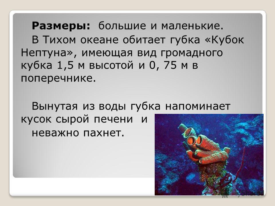Размеры: большие и маленькие. В Тихом океане обитает губка «Кубок Нептуна», имеющая вид громадного кубка 1,5 м высотой и 0, 75 м в поперечнике. Вынутая из воды губка напоминает кусок сырой печени и неважно пахнет.