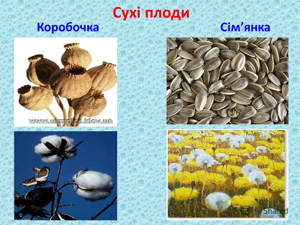Сухі плоди Коробочка Сімянка