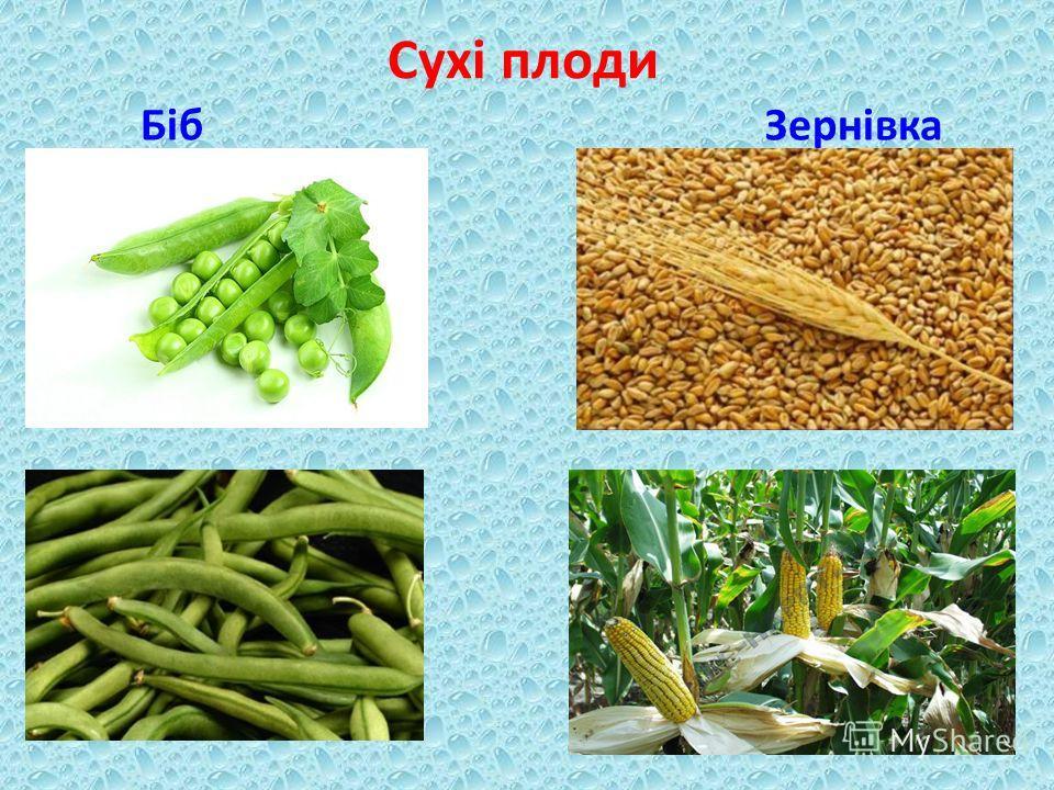Сухі плоди Біб Зернівка