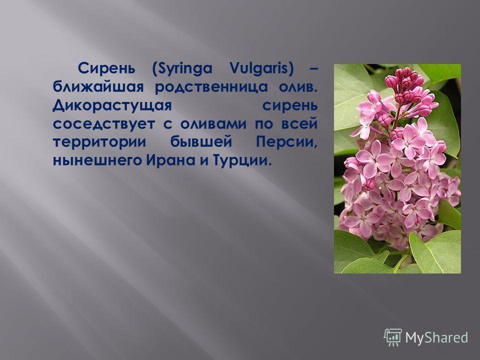 Сирень (Syringa Vulgaris) – ближайшая родственница олив. Дикорастущая сирень соседствует с оливами по всей территории бывшей Персии, нынешнего Ирана и Турции.