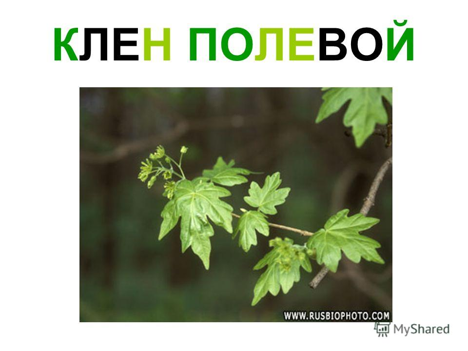 КЛЕН ПОЛЕВОЙ
