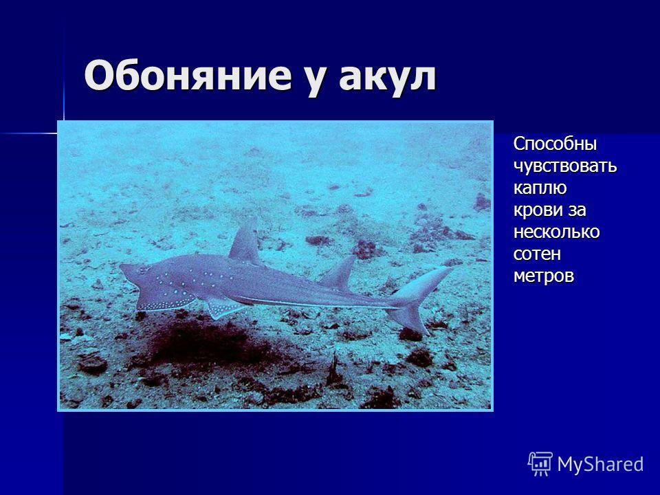Обоняние у акул Способны чувствовать каплю крови за несколько сотен метров