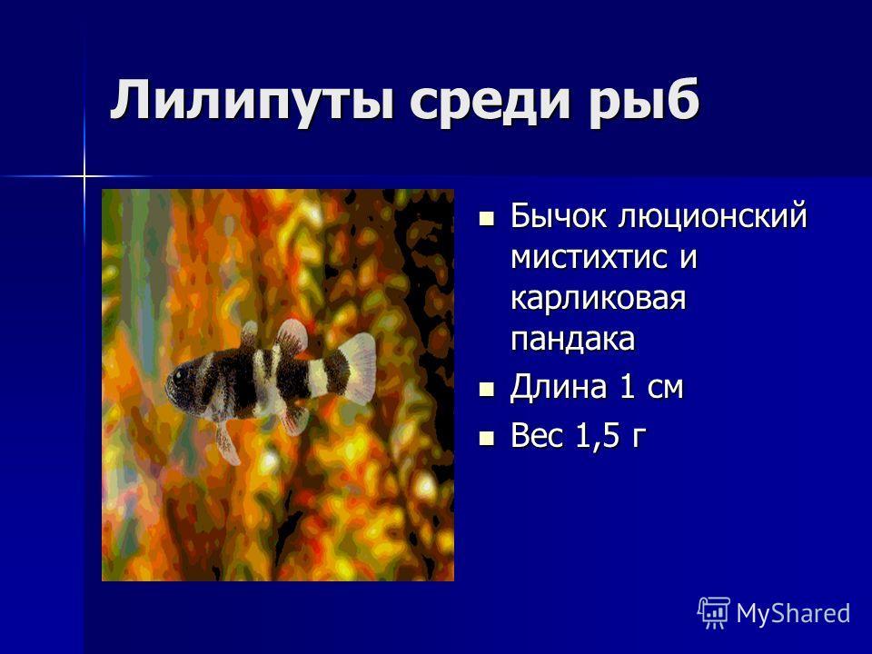 Лилипуты среди рыб Бычок люционский мистихтис и карликовая пандака Бычок люционский мистихтис и карликовая пандака Длина 1 см Длина 1 см Вес 1,5 г Вес 1,5 г
