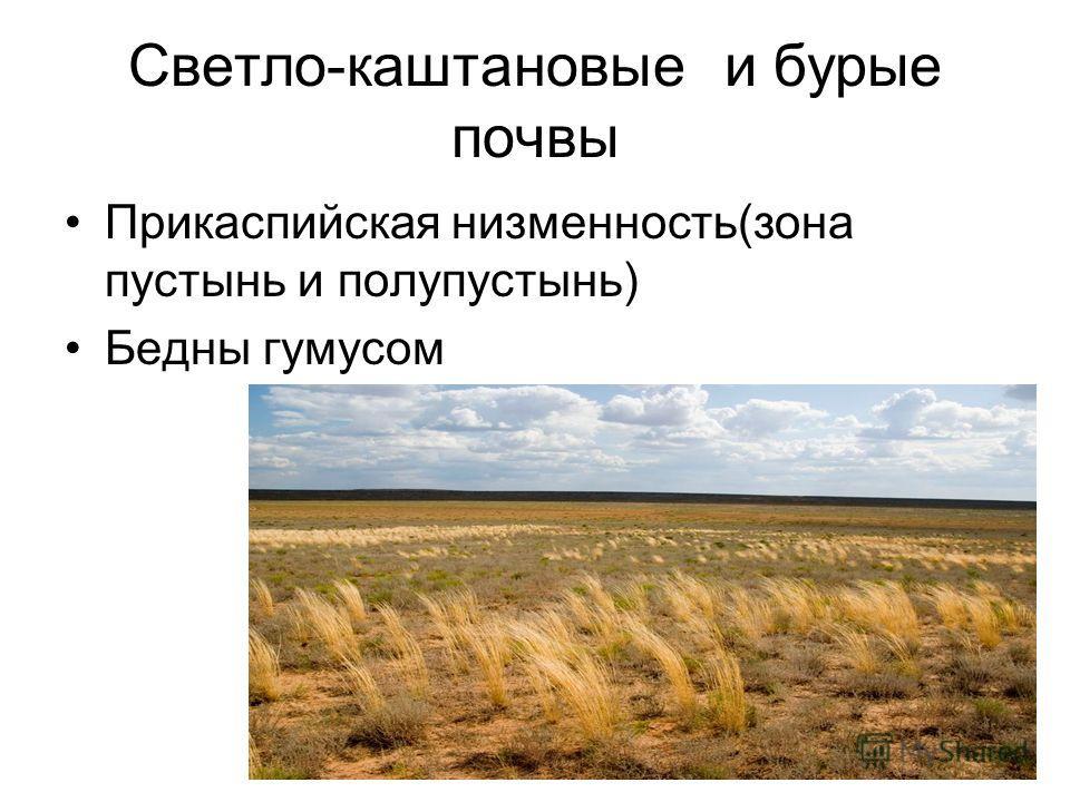 Светло-каштановые и бурые почвы Прикаспийская низменность(зона пустынь и полупустынь) Бедны гумусом