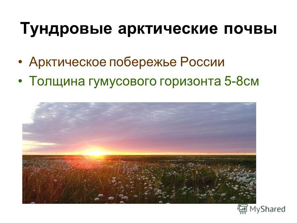 Тундровые арктические почвы Арктическое побережье России Толщина гумусового горизонта 5-8см
