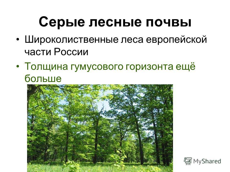 Серые лесные почвы Широколиственные леса европейской части России Толщина гумусового горизонта ещё больше