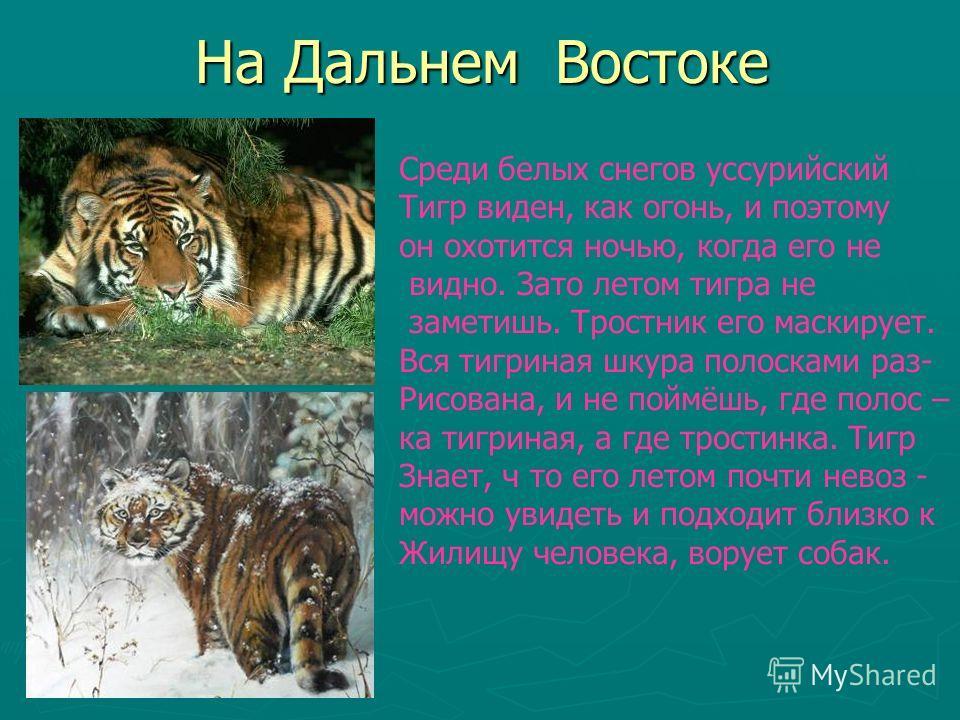 На Дальнем Востоке Среди белых снегов уссурийский Тигр виден, как огонь, и поэтому он охотится ночью, когда его не видно. Зато летом тигра не заметишь. Тростник его маскирует. Вся тигриная шкура полосками раз- Рисована, и не поймёшь, где полос – ка т