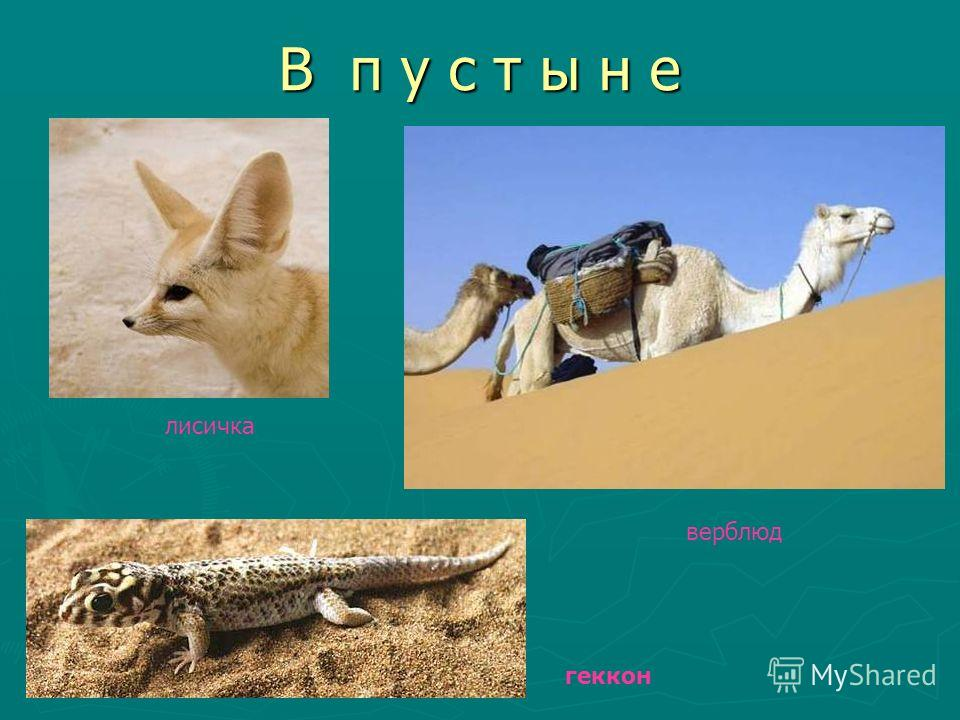 В п у с т ы н е лисичка верблюд геккон