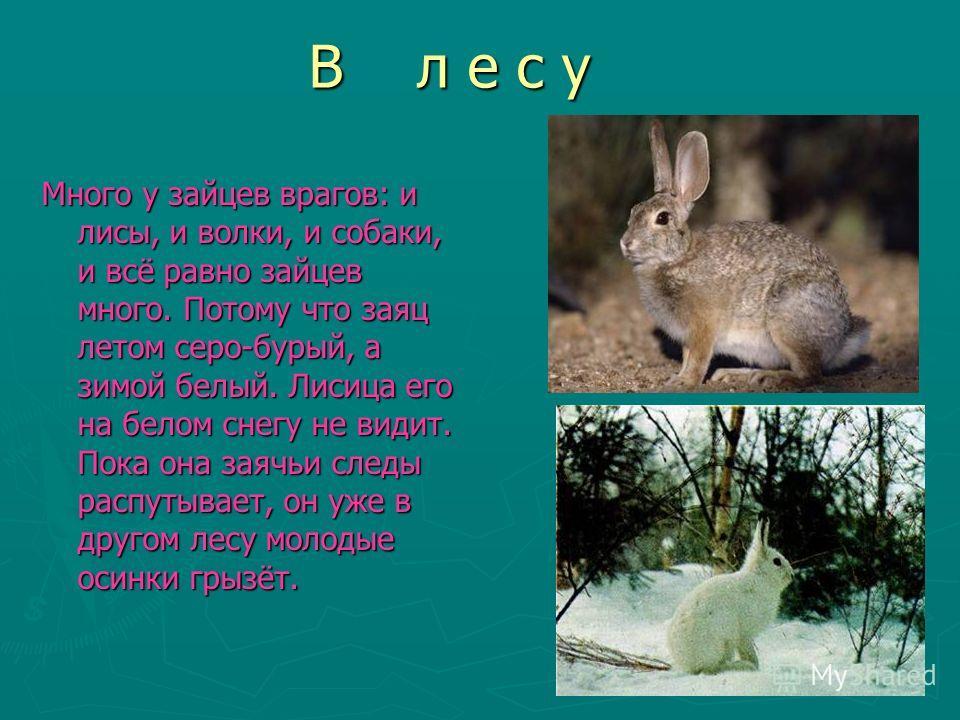 В л е с у Много у зайцев врагов: и лисы, и волки, и собаки, и всё равно зайцев много. Потому что заяц летом серо-бурый, а зимой белый. Лисица его на белом снегу не видит. Пока она заячьи следы распутывает, он уже в другом лесу молодые осинки грызёт.