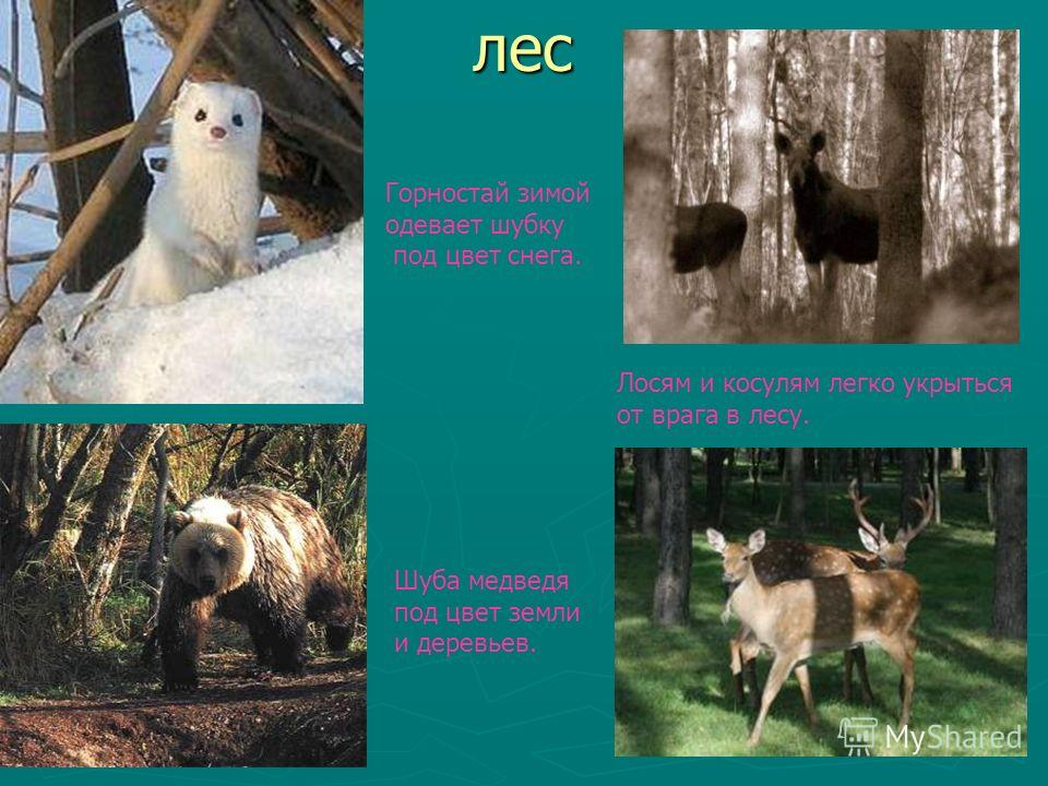 лес лес Горностай зимой одевает шубку под цвет снега. Шуба медведя под цвет земли и деревьев. Лосям и косулям легко укрыться от врага в лесу.