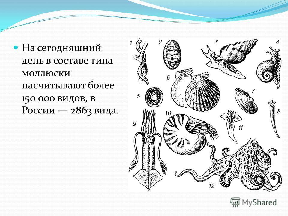 На сегодняшний день в составе типа моллюски насчитывают более 150 000 видов, в России 2863 вида.