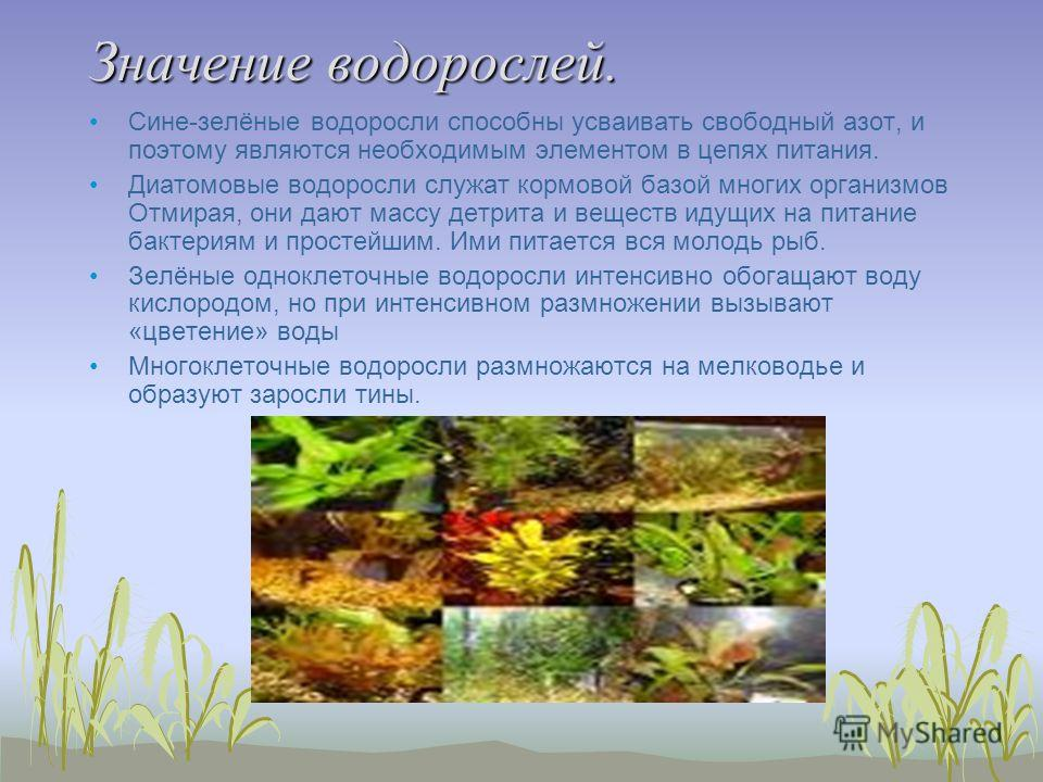 Значение водорослей. Сине-зелёные водоросли способны усваивать свободный азот, и поэтому являются необходимым элементом в цепях питания. Диатомовые водоросли служат кормовой базой многих организмов Отмирая, они дают массу детрита и веществ идущих на