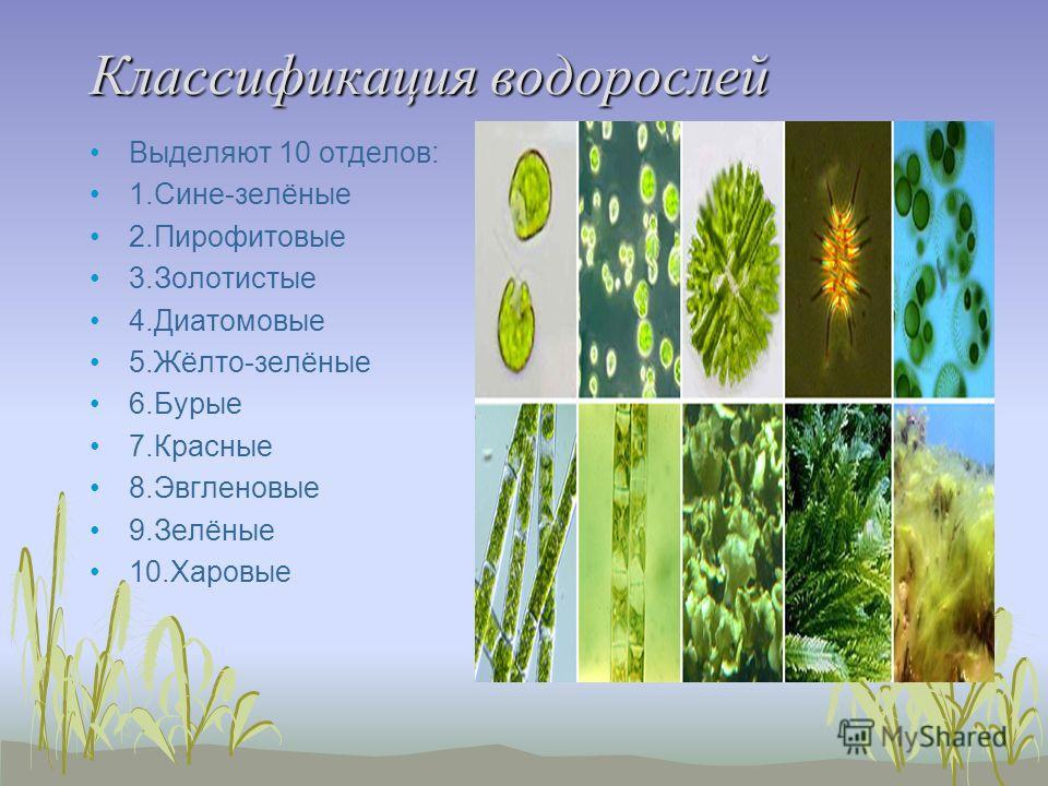 Классификация водорослей Выделяют 10 отделов: 1.Сине-зелёные 2.Пирофитовые 3.Золотистые 4.Диатомовые 5.Жёлто-зелёные 6.Бурые 7.Красные 8.Эвгленовые 9.Зелёные 10.Харовые