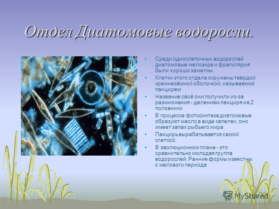 Отдел Диатомовые водоросли. Среди одноклеточных водорослей диатомовые мелозира и фрагилярия были хорошо заметны Клетки этого отдела окружены твёрдой кремнезёмной оболочкой, называемой панцирем Название своё они получили из-за размножения - делением п