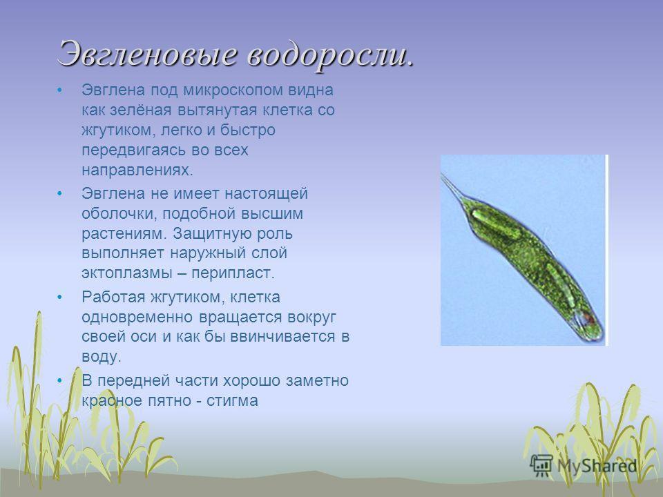 Эвгленовые водоросли. Эвглена под микроскопом видна как зелёная вытянутая клетка со жгутиком, легко и быстро передвигаясь во всех направлениях. Эвглена не имеет настоящей оболочки, подобной высшим растениям. Защитную роль выполняет наружный слой экто