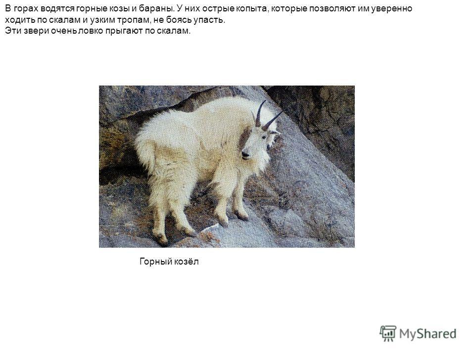 В горах водятся горные козы и бараны. У них острые копыта, которые позволяют им уверенно ходить по скалам и узким тропам, не боясь упасть. Эти звери очень ловко прыгают по скалам. Горный козёл
